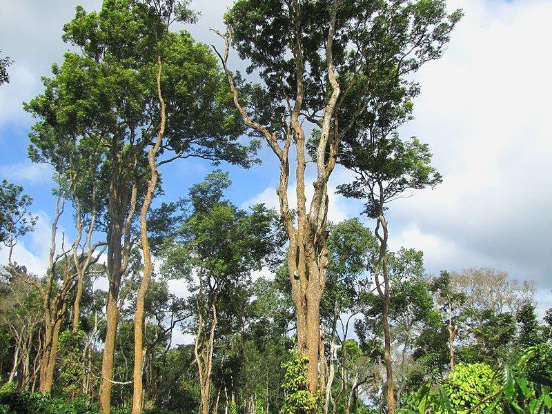 Cem Kaya Usta Yapımı Pelesenk Ağacı Tesbih - Tesbihevim